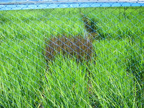 サイズ変更田んぼアートにも使われる色のついた稲もありましたIMG_9668