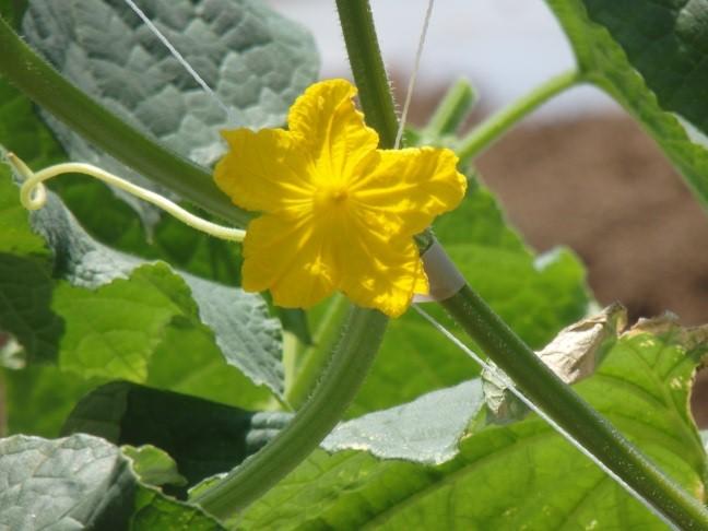 0530キュウリ花
