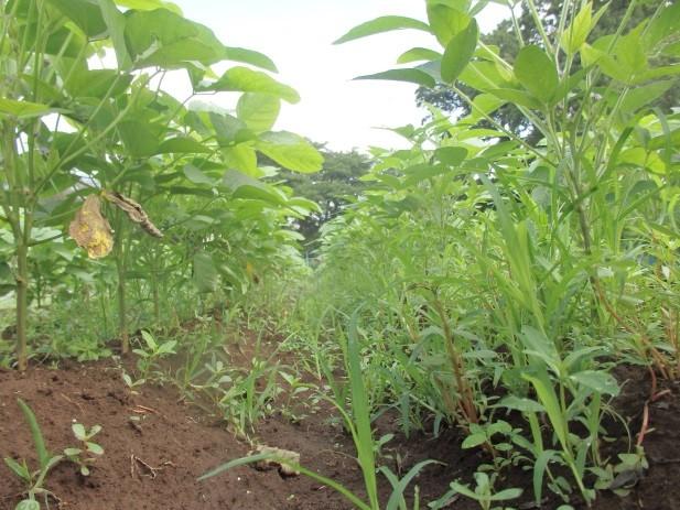 1大豆と雑草