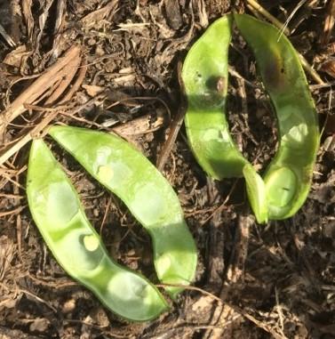 7食害枝豆